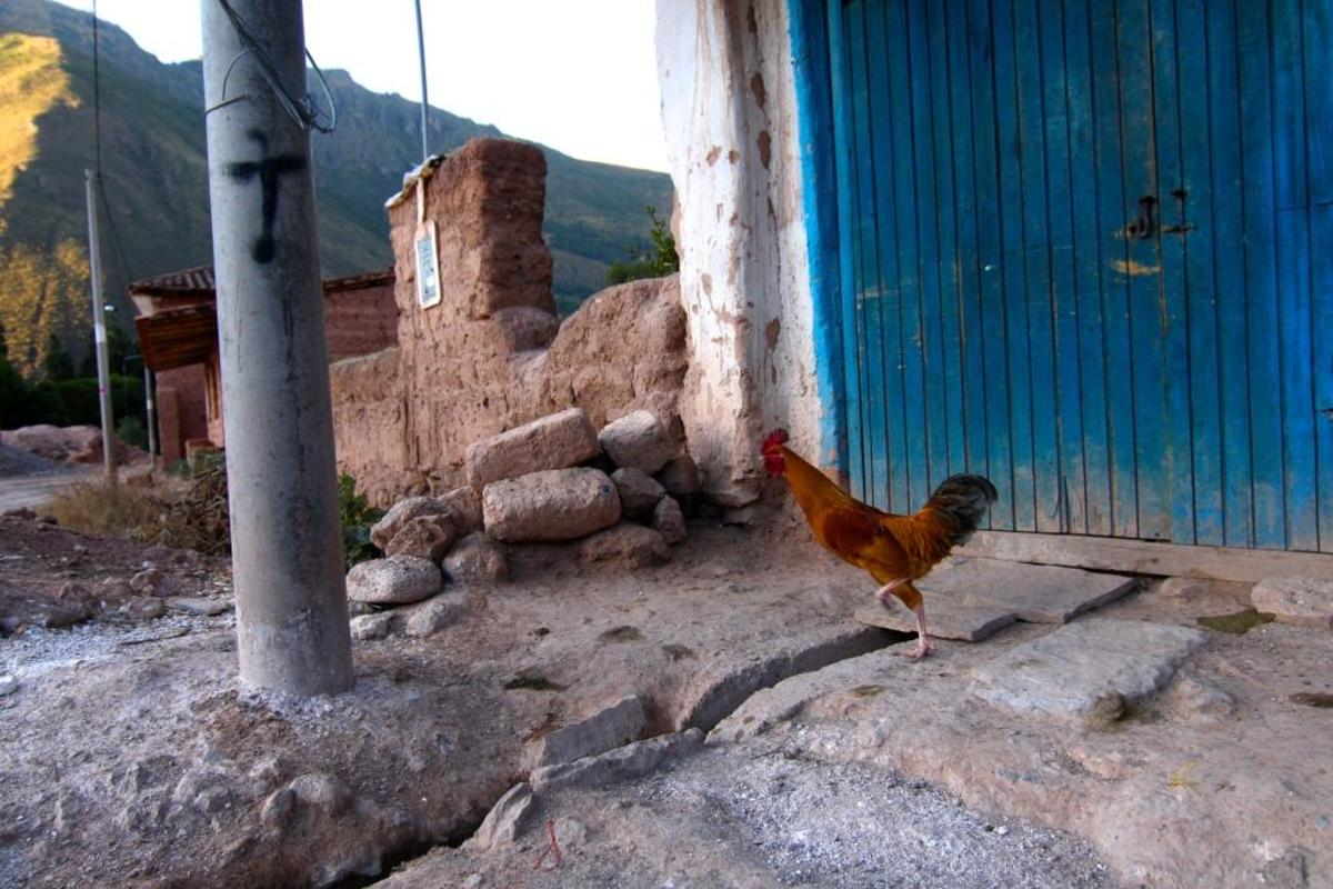 During daylight hours, the city of Maras is mostly deserted as the inhabitants work to harvest salt from the evaporation beds.  Pets, such as this rooster, roam free until dusk.