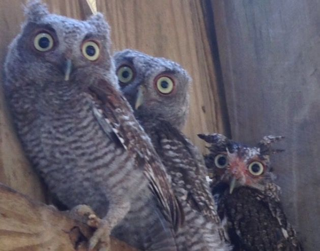 Three injured owls huddle on top of the doorway at Busch Wildlife Sanctuary.
