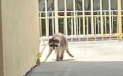 "The Dreyfoos Raccoon approaches the media center. Band junior Karla DeJesus said that the raccoon ""is a symbol of Dreyfoos students,"" adding in with a serious tone, ""our mascot, our rallying cry."""